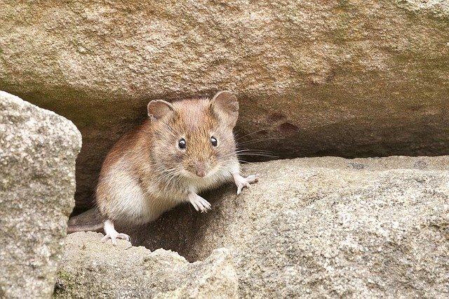 myška na kamenech